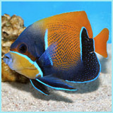 Blue Girdled Angel Fish